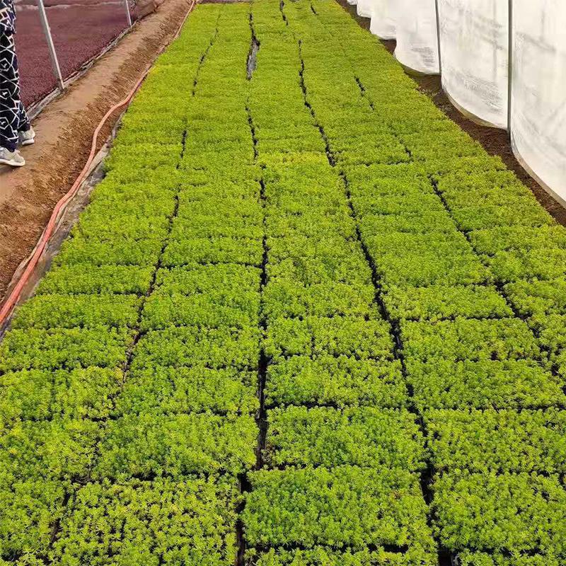 大棚内生长的穴盘苗种苗实拍图片