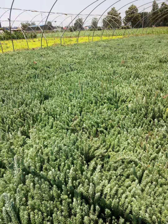 松塔景天种苗种植基地实拍图