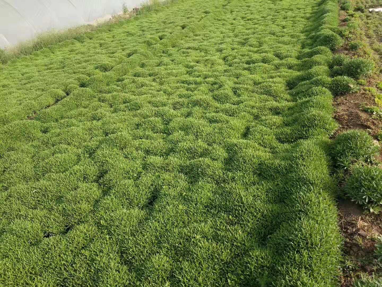 长叶三七种苗种植基地实拍图