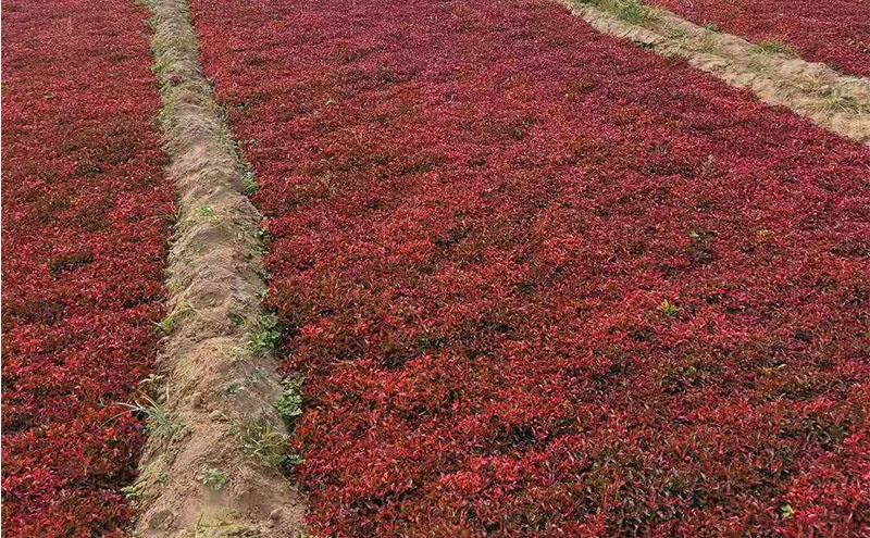 五色草红草种苗基地
