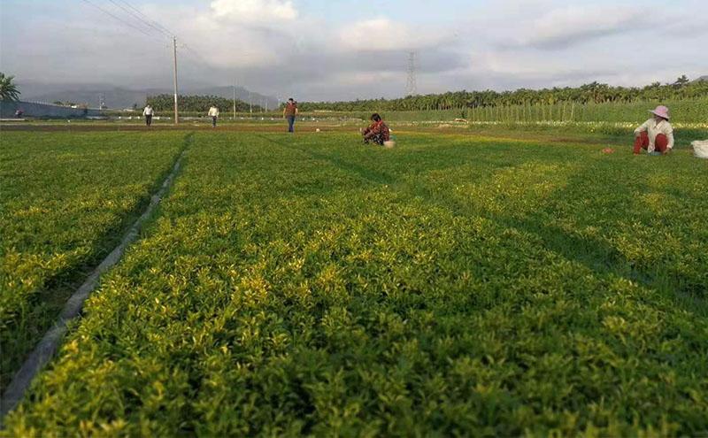 五色草种苗基地