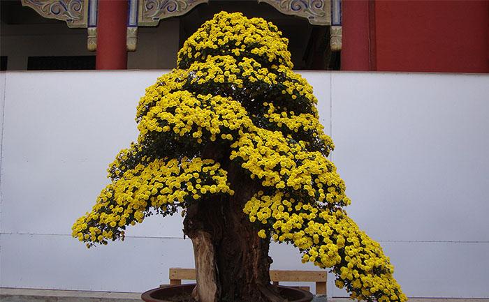 盆景菊菊花造型