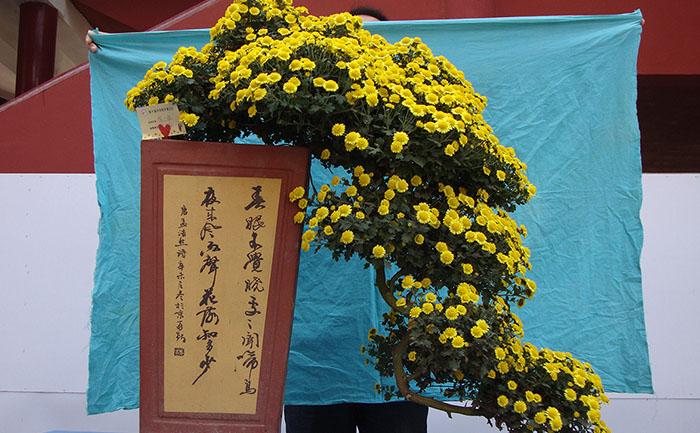盆景菊菊花造型照片