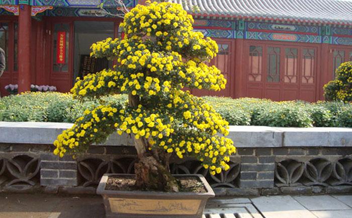 盆景菊菊花造型制作