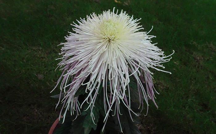 名贵菊花品种种苗-十丈垂帘菊花种苗