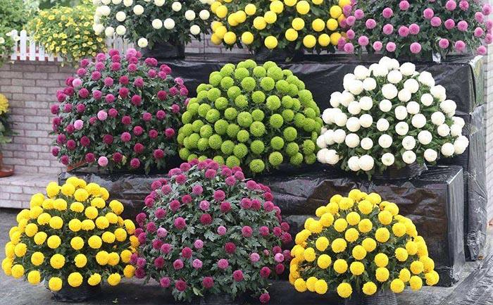 乒乓菊种苗批发价格-乒乓菊种植和养护技术
