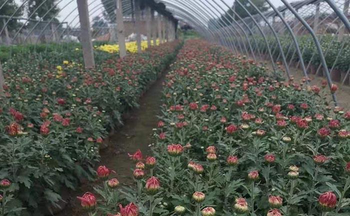 在大棚里的国庆菊种苗