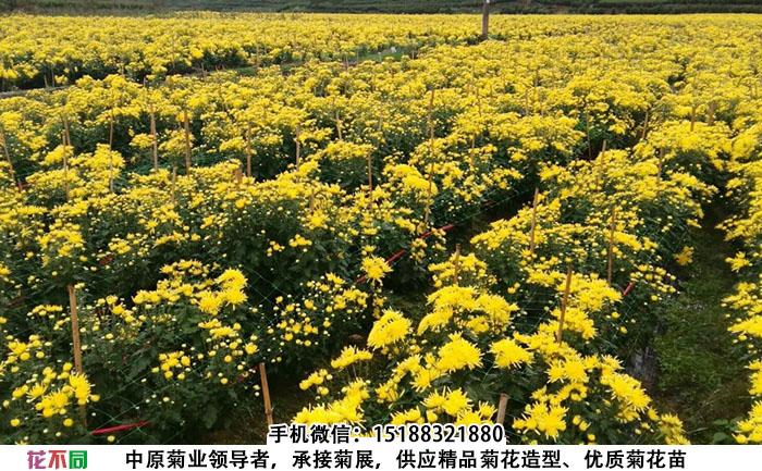 种植金丝皇菊菊花一亩地的种植效果