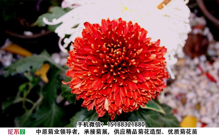 观赏菊花品种-天下一品