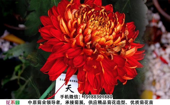 天下一品菊花图片