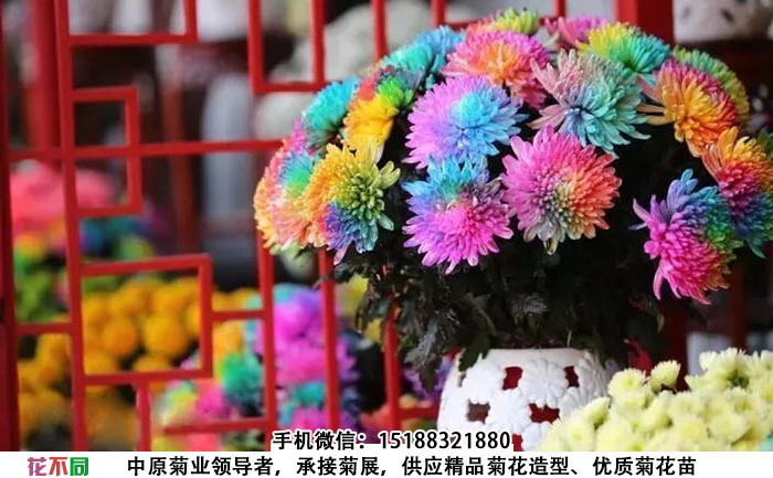 观赏菊花品种-七色炫彩菊插在花瓶中的样子