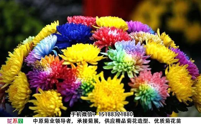 观赏菊花品种-七色炫彩菊