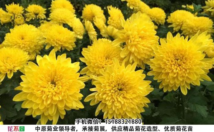 黄香梨菊花图片