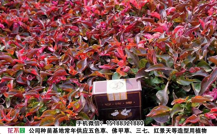 五色草大叶红种苗