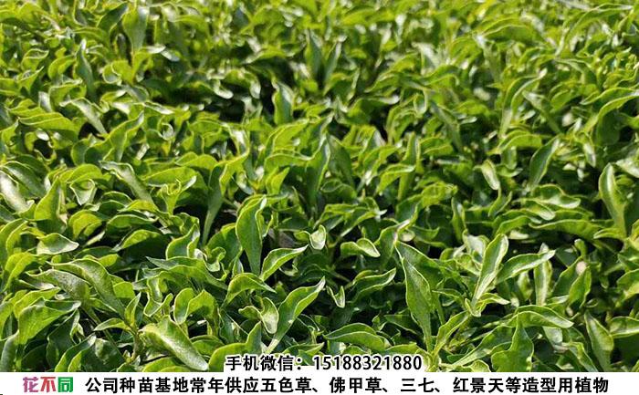 五色草小叶绿种苗