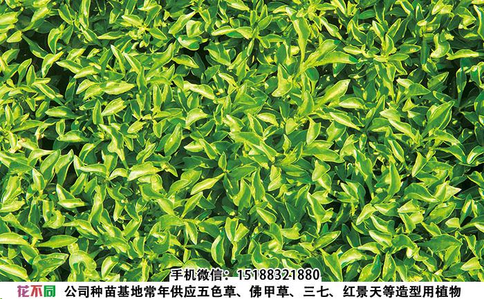五色草大叶绿种苗