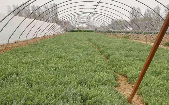 室外松塔景天种苗种植基地全貌实拍图片