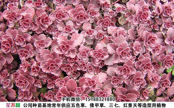 胭脂红景天实拍图片