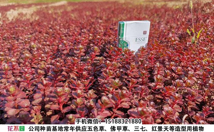 胭脂红景天地栽苗实拍图片