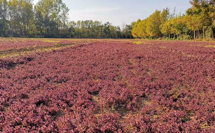 胭脂红景天种苗种植基地室外实拍图片