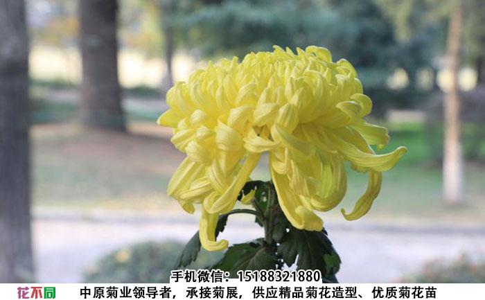 春日见山菊花种苗实拍图片