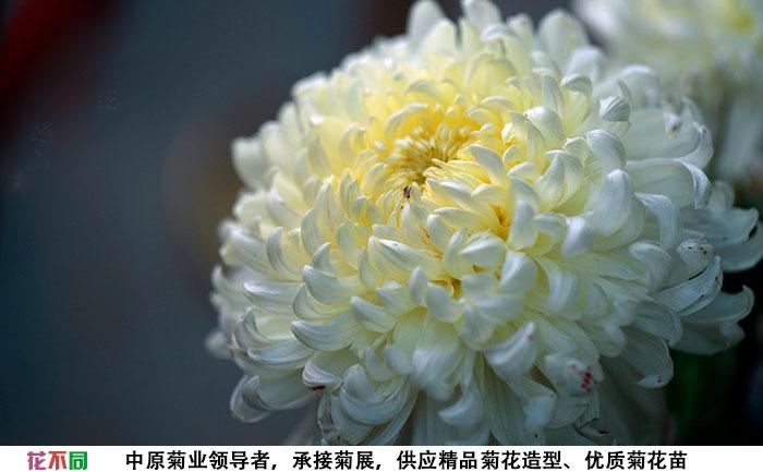 国华白越山单花实拍图片