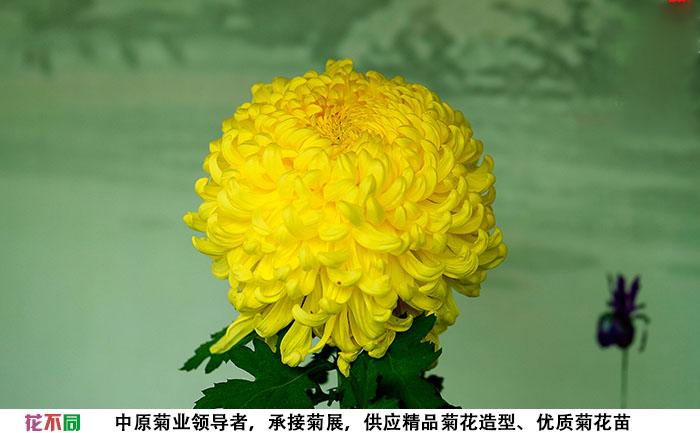 国华黄越山菊花大花实拍图片
