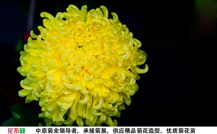 国华黄越山菊花种苗实拍图片
