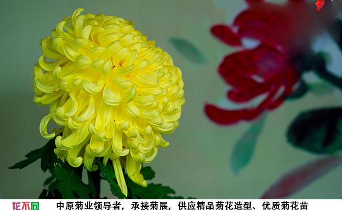 国华黄越山独本菊大花实拍图片