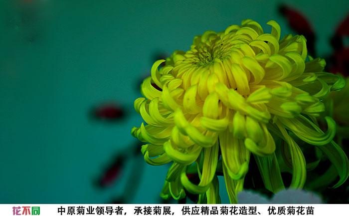 国华黄越山在花海中的应用实拍图片