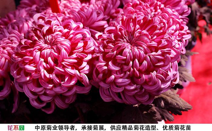 紫强大菊花组合实拍图片