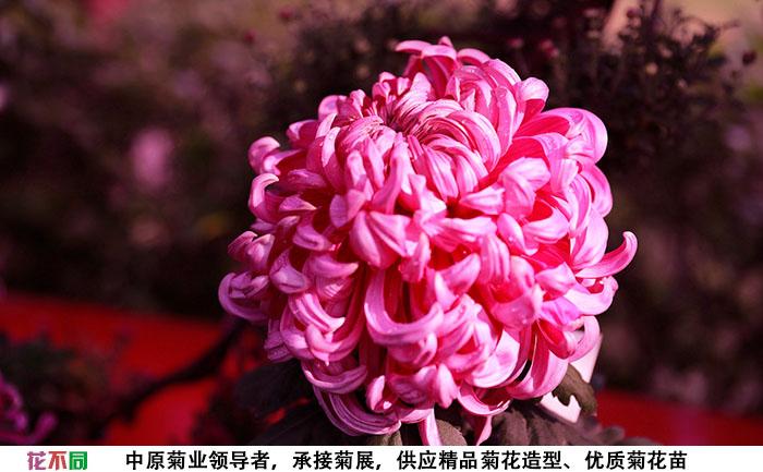 紫强大菊花单个大花实拍图片