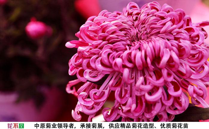 紫强大菊花大花实拍图片