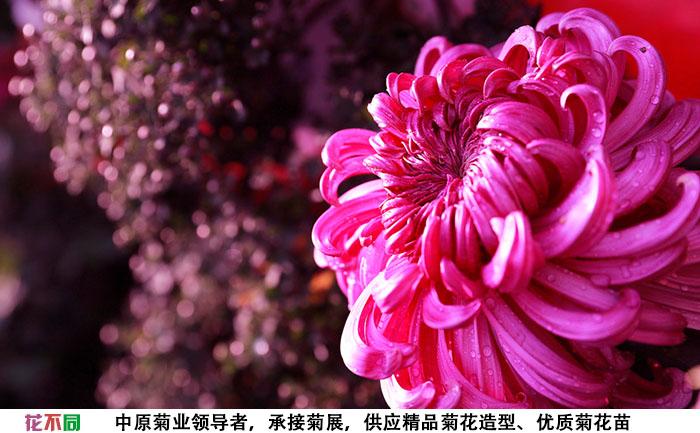 紫强大菊花品种种苗实拍图片