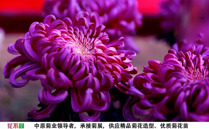 紫强大菊花种苗基地实拍图片