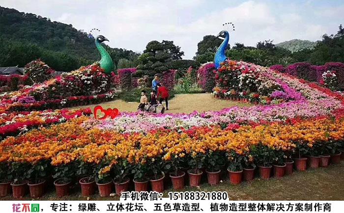 大型孔雀立体花坛造型现场实拍图