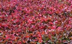 <b>五色草红草-五色草种植技术注意事项及应用场景</b>