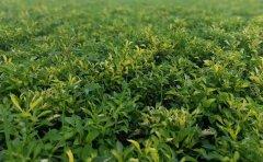 五色草的种类与作用