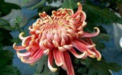 <b>常见的艺术菊花造型的做法及图片</b>