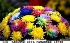 <b>观赏菊花品种-七色炫彩菊</b>
