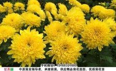 <b>黄香梨菊花图片及种植方法</b>