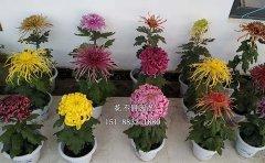 菊花的栽培